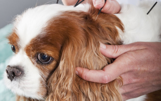 Dr. Jessie treat cancer in pets using acupuncture