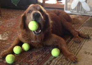 Ridge the golden retriever successfully treated with acupuncture, happily playing with balls.