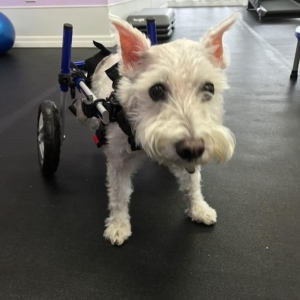 Sashi loves her hind-leg wheelchair!