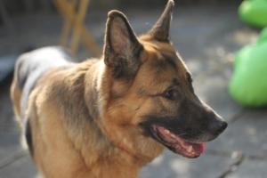 Degenerative myelopathy is common in German Shepherds.