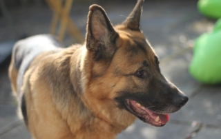 Degenerative myelopathy is common in German Shepherds.