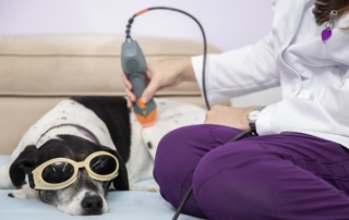 Roxy receives laser therapy for her cranial cruciate ligament rupture.