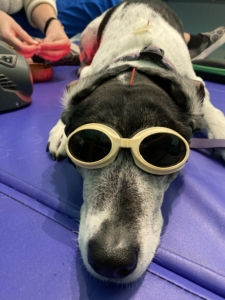 """""""Doggles"""" or """"Dog laser glasses"""" are utilized (and quite stylish!)!"""