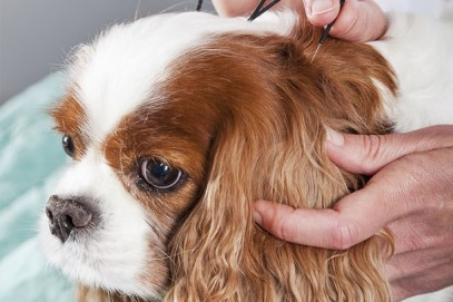 Acupuncture can alleviate cancer pain, and help your pet fight the cancer by boosting the immune system.