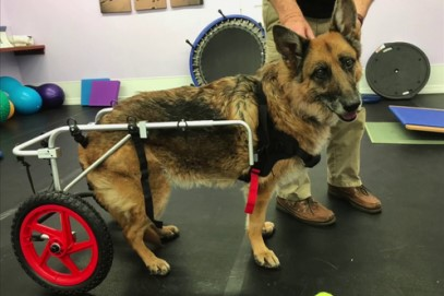 A German Shepherd dog smiles happily enjoying the mobility of his wheelchair